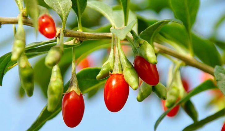 Как принимать ягоды годжи в чистом виде