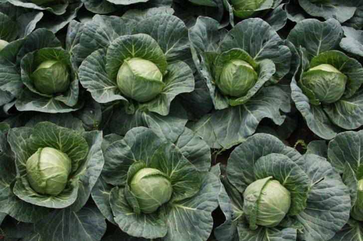 Польза капусты  для похудения