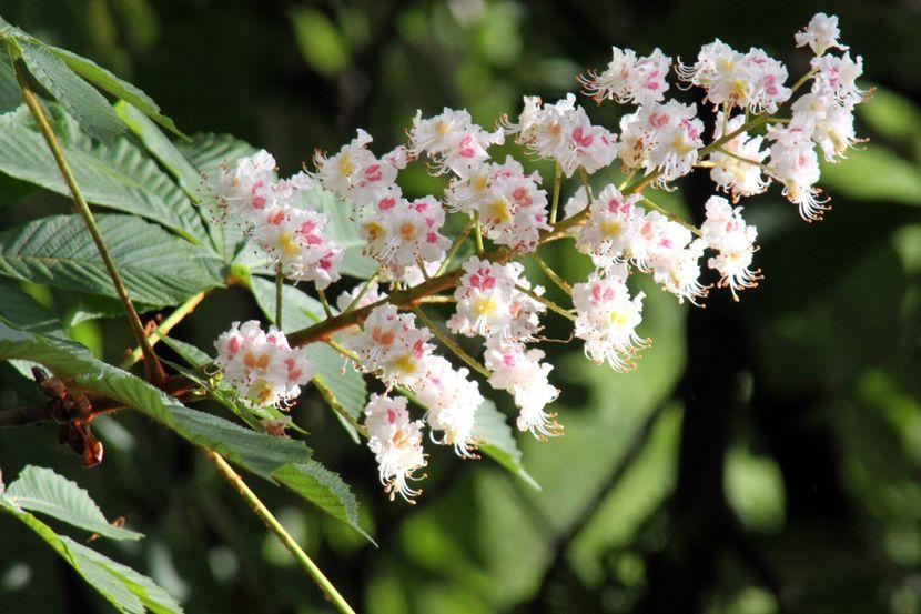 Отвар из цветков каштана
