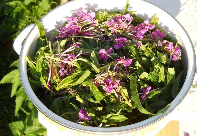 Правильная заготовка иван-чая от простатита и аденомы простаты