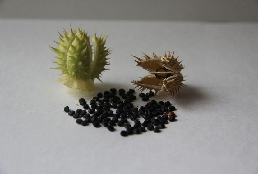 Семена дурмана