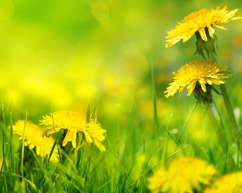 Цветки одуванчика от артроза колена