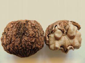 Диковинный продукт – черный орех