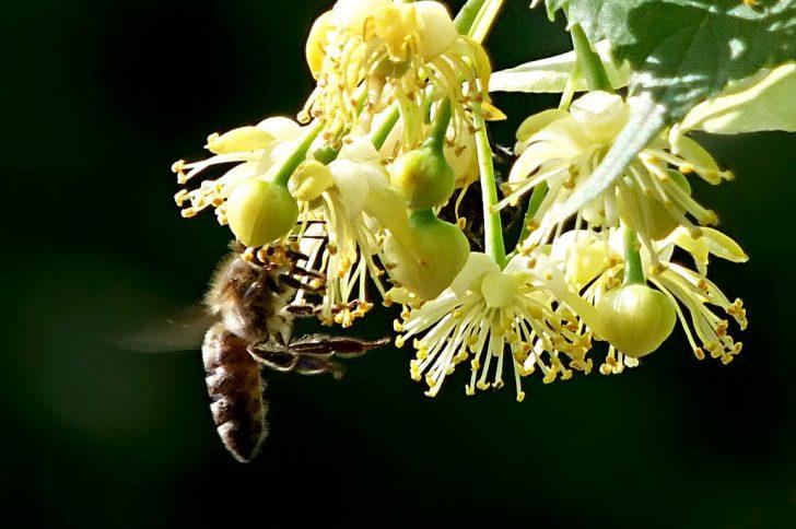Нежнейший липовый мёд – подарок от пчёл