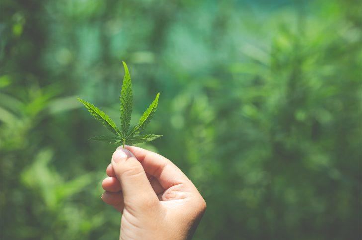 Марихуана признана ценнейшим для здоровья растением современности
